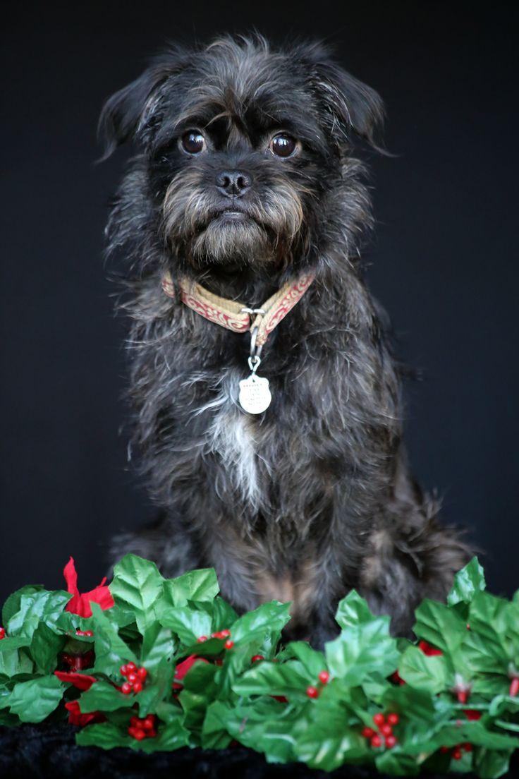 Affenpinscher dog for Adoption in San Pedro, CA. ADN-414878 on PuppyFinder.com Gender: Female. Age: Young