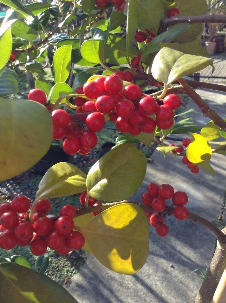 Stunning red berries on the Ilex Aquifolium