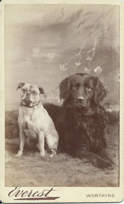 Striking juxtaposition shown in 1880s cdv photo of a pug sitting and a retriever lying down in a photographer's studio. Gorgeous photo by Robert Everest, Connaught House, 53 Chapel Road, Worthing. From bendale collection