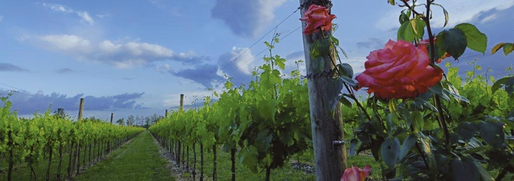 The roses at the side of the vines, ancient stratagem to take care of the grapes