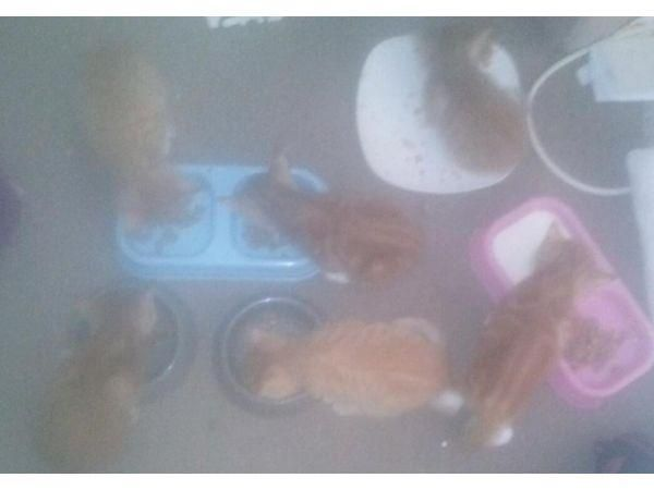 4 female. 2 are pure ginger other 2 ginger and white. 2 males ginger and white kittens for sale . All eating and drinking and litter trained. Ready 2nd october. Please only text or email as i dont always get a chance to answer phone calls Price: £ 50.00 in Bridgwater