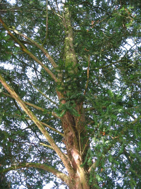 L'If commun, taxus baccata, peut vivre jusqu'à 2000 ans! A 20 ans il mesure environ 4m. C'est un gymnosperme. Son bois est couleur rouge cannelle.
