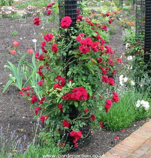 22 best images on pinterest roses blossoms and saint bernards. Black Bedroom Furniture Sets. Home Design Ideas