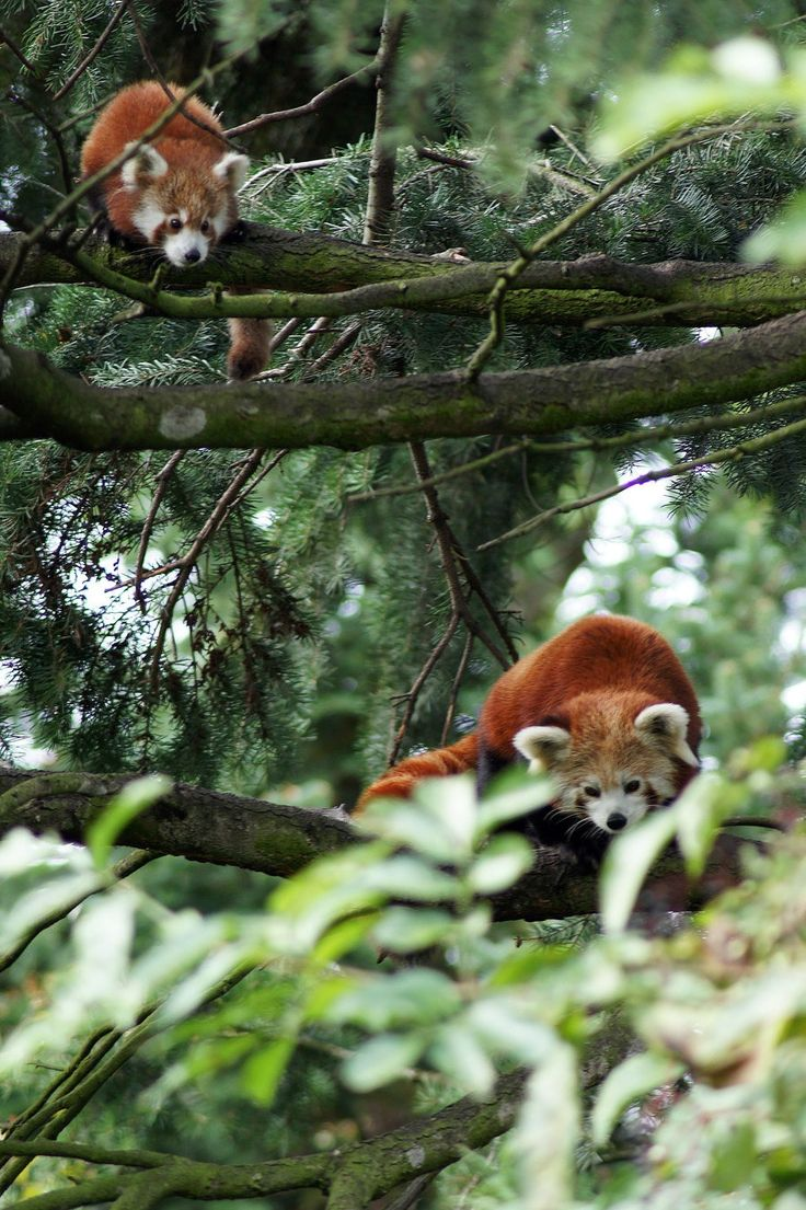 Red pandas trees a joyous sight