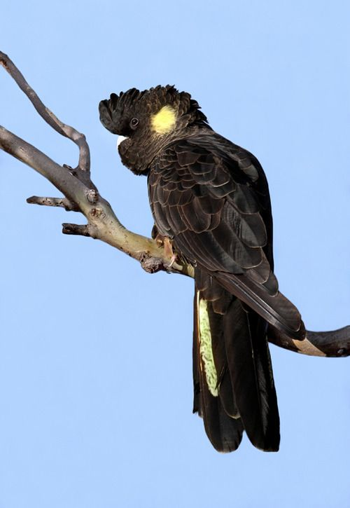 The Yellow-tailed Black Cockatoo - Calyptorhynchus funereus, is a large cockatoo. This species inhabits a variety habitat types, but favours eucalypt woodland and pine plantations. Photo by Colin Cook.