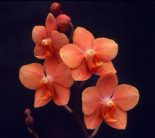 Vandaenopsis Irene Dobkin 'Elmhurst' HCC/AOS (Phalaenopsis Doris x Vanda miniatum) Z-358 #vandaenopsis #asconopsis #orchid #orchidsbyhausermann | by Orchids by Hausermann