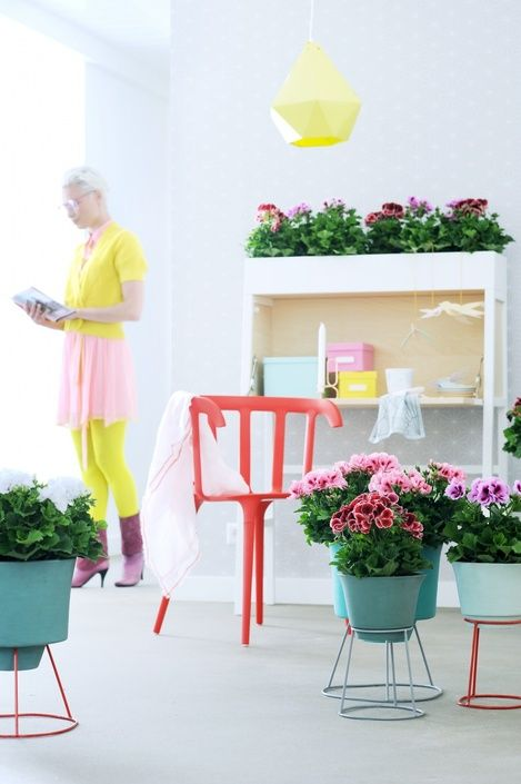 Welcome spring into your home with a grand display of Regal Pelargonium