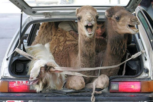 Funny Camel in Car lol