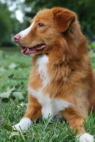 Nova Scotia Duck Tolling Retriever.
