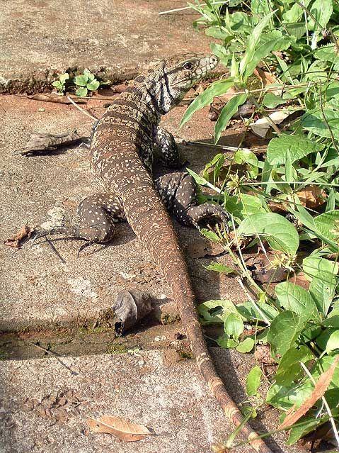 World Travel Photos :: Animals :: Brazil. Large Lizard
