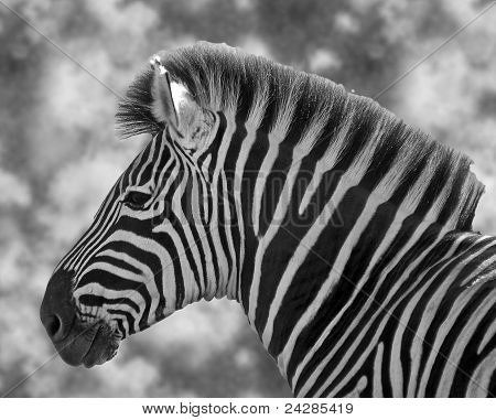 Zebra Stallion in black and white
