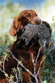 Irish Setter, doing what it was bred to do--point and retrieve gamebirds