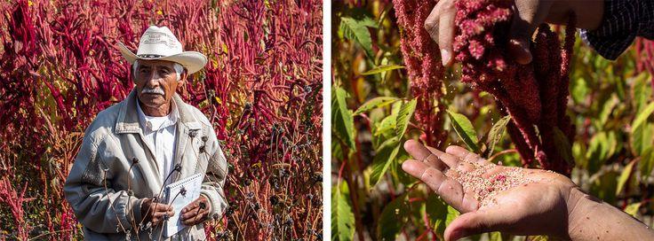 Why Mexican Chefs, Farmers And Activists Are Reviving The Ancient Grain Amaranth : The Salt : NPR  (Left) Farmer Adolfo Lopez of San Andrés Zautla, Oaxaca, is an amaranth grain and leaf producer. (Right) The amaranth varietal Nutrisol grows in a field in Mixteca Alta, Oaxaca.