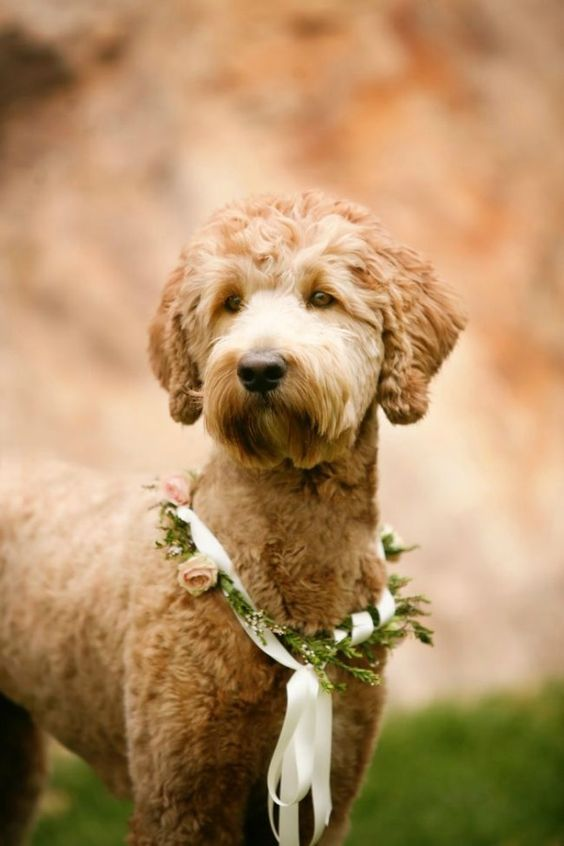 35 best goldendoodle haircuts images goldendoodle 35 best goldendoodle haircuts images on pinterest
