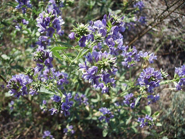 Luzerne, Medicago sativa, vlinderbloemenfamilie. De plant beschikt over een diep en krachtig wortelstelsel tot wel 4,5 meter, meerjarig.