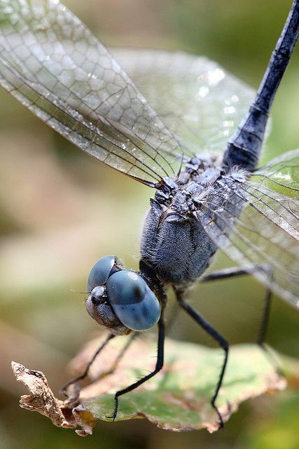 Dragonfly. #Dragonfly. Celebrate dragonflies with Dragonfly jewelry at:  http://www.silveranimals.com/dragonfly_jewelry.htm
