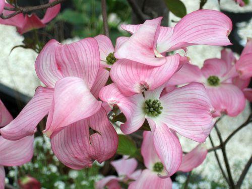 Cornouiller à fleurs, Cornouiller de Floride, Bois de chien, Cornus florida