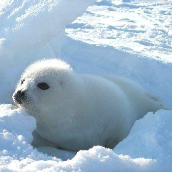 Baby Phoque bébé phoque | animals | pinterest | phoque, bébé phoque and bébés