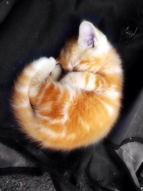 まるむしぬこ Curled up ball of cuteness!