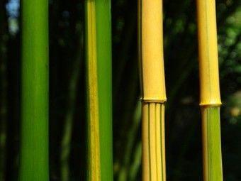 Phyllostachys vivax 'Aureocaulis' is een prachtige bamboe met gele halmen met fijne verticale groene strepen die goed als solitairplant toegepast kan worden. De hoogte van Phyllostachys vivax 'Aureocaulis' bedraagt circa 500-600 cm maar deze bamboe kan ook hoger worden. Phyllostachys vivax 'Aureocaulis' is goed winterhard en het is geen sterke woekeraar.