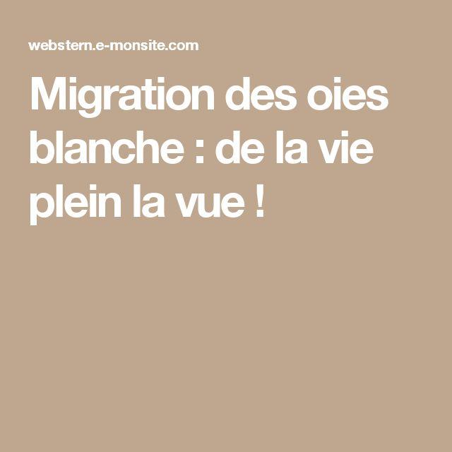 Migration des oies blanche : de la vie plein la vue !