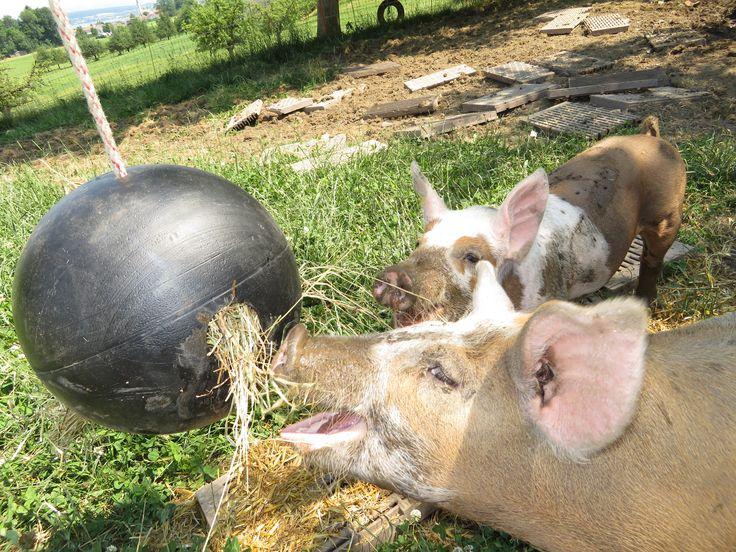 sogar glückliche Freilandschweine beschäftigen sich gerne mit dem raufutterball beschäftigen