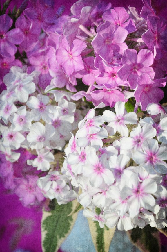 Phlox flowers are available for Brides in Scotland in February. Contact the Stockbridge Flower Company for more details.