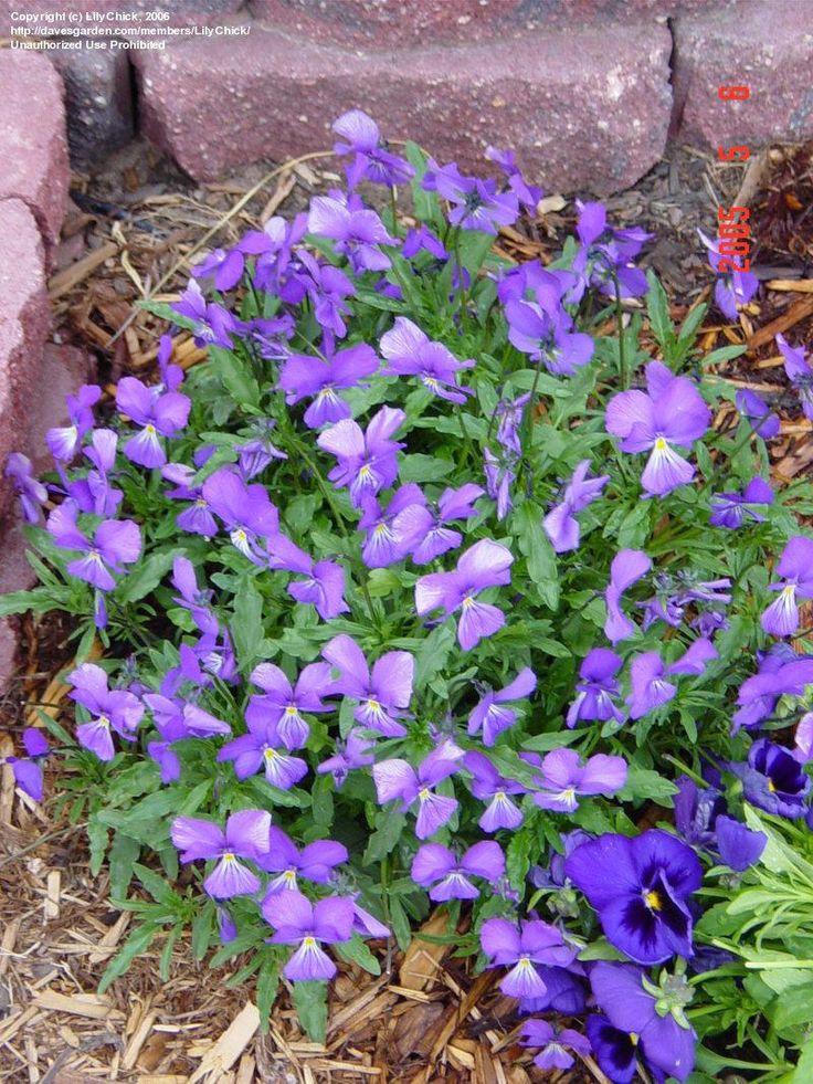 Viola Corsica Long Blooming Perennial Landscaping