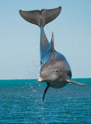 Amazing bottlenose dolphin jumping beautiful