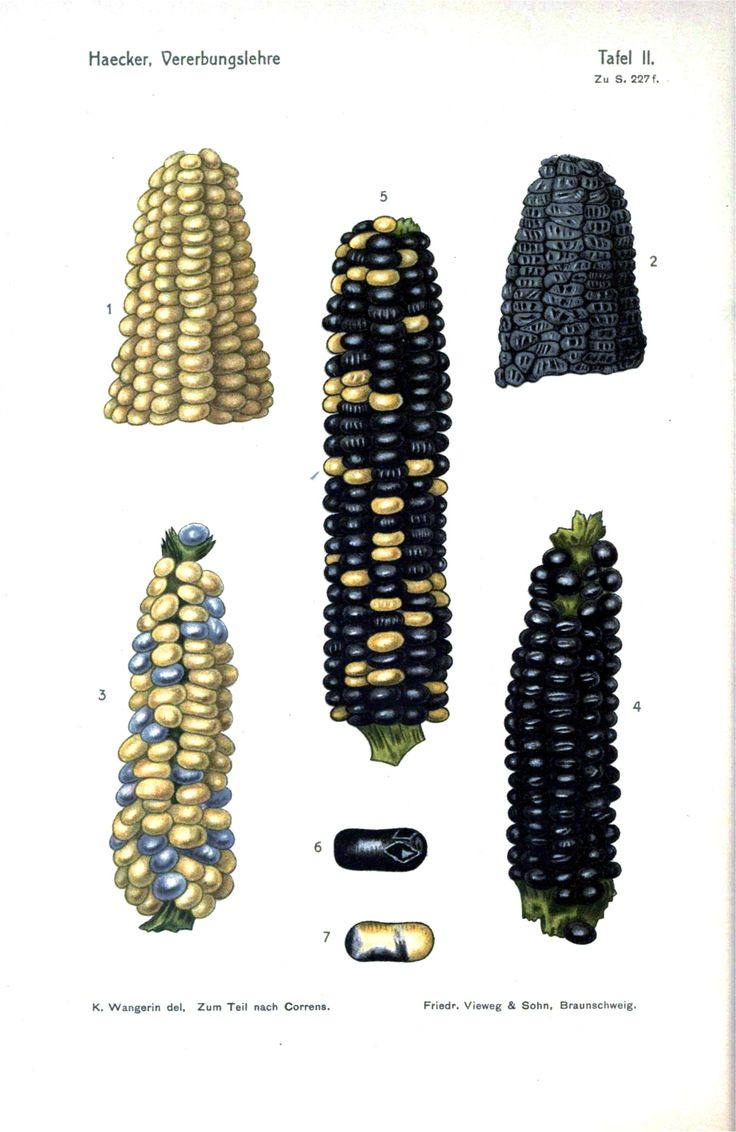 Vintage genetics - Corn (color was later found to be due to mobile genetic elements jumping around, rather than straight Mendelian genetics)