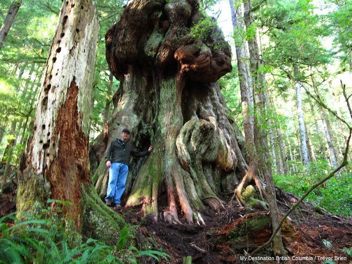"""Canada's Gnarliest Tree"". Avatar Grove is located near Port Renfrew on Vancouver Island."