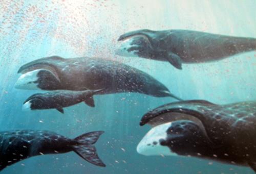 La ballena de Groenlandia o ballena boreal (Balaena mysticetus) es una especie de cetáceo misticeto de la familia Balaenidae.2 Es la única especie viviente de su género.2 Posee un cuerpo robusto, sin la presencia de aleta dorsal (características propias de la familia). Puede crecer hasta 18 metros de longitud, con un peso máximo de 100 toneladas. Habita en las aguas árticas y subárticas, a diferencia de otras ballenas que migran para alimentarse o reproducirse. Posee una