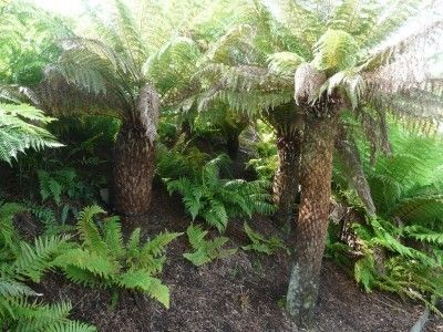 What Is A Tree Fern: Different Fern Tree Types And Planting Tree Ferns - Australian tree ferns add tropical appeal to your garden. These unusual plants have a thick, straight, woolly trunk topped with large, frilly fronds. Learn more about them in this article.