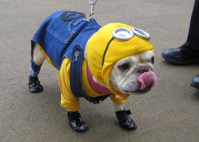 Minion Halloween Costume Ideas for dog pet http://www.maginezart.com/2015/11/minion-pet-halloween-costume-ideas.html