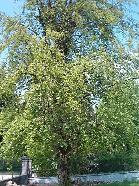 Siamo nel giardino della scuola primaria di Castiglione Olona. Il pioppo che si trova presso il confine con la scuola dell'infanzia si è coperto di tenere foglie verdi. Siamo in primavera