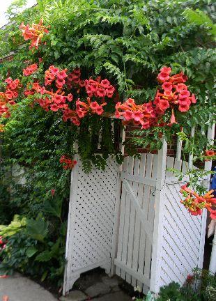 Les 25 meilleures id es concernant campsis sur pinterest for Plantes grimpantes vivaces