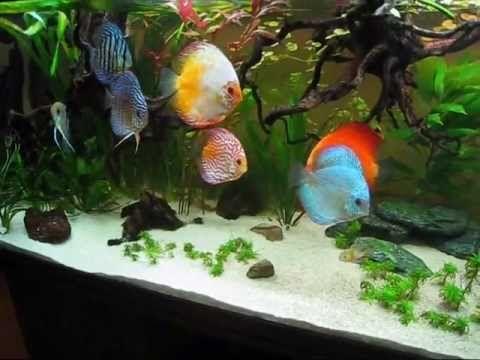 Discus Planted Community Aquarium 150 Gallon Aquarium is beautiful to watch - the fish in it are stunning