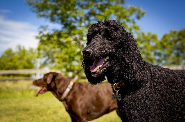 Cancer can attack any part of a dog's body – ever their toes. Digital Squamous Cell Carcinoma starts at the toes, but can spread throughout the body.
