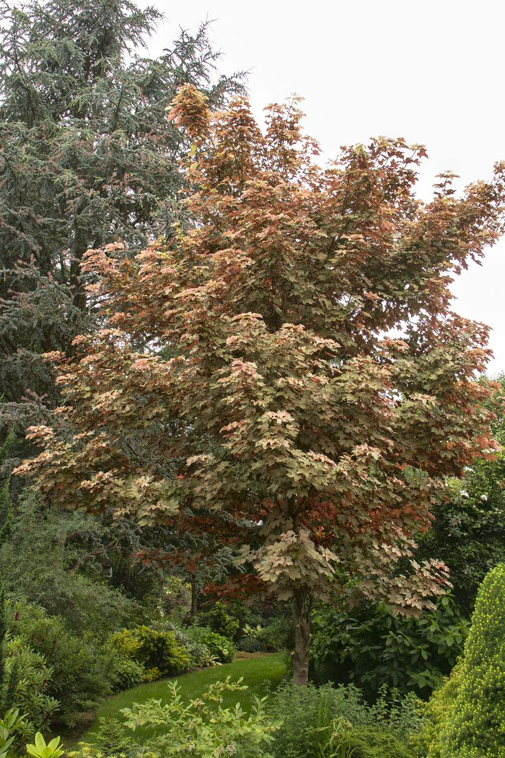 The 25 best sycamore maple ideas on pinterest sycamore for Small specimen trees