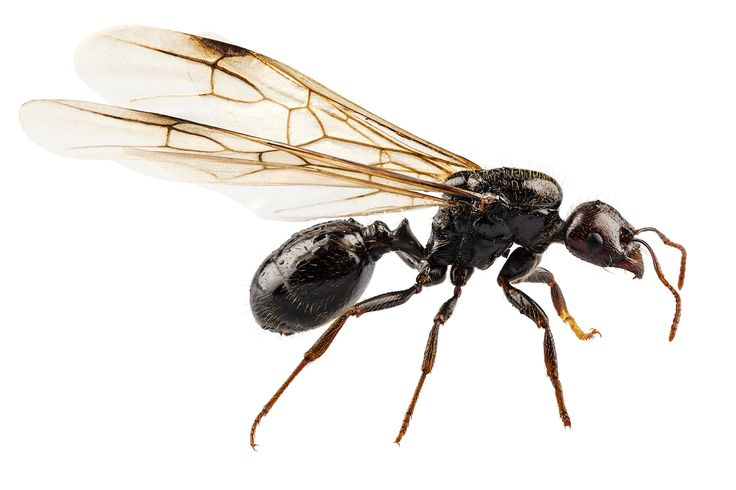 Flying Ants in House Swarms of flying ants in and around house is a common sight during summer and spring. Here are a few interesting facts about winged ants in home. You will also find some techniques to keep the infestation in check. Ants are the most common household pests that infest northern and eastern states of United States. There are myriad varieties of this insect, from small harmless ones to large, poisonous ones. Flying ants are also not that uncommon, especially during summer…