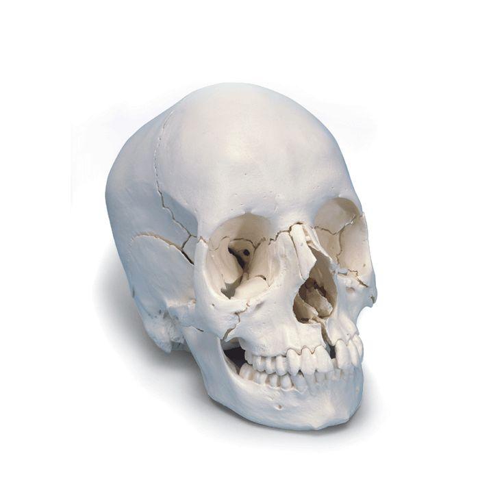 Modèle anatomique Crâne articulé 3B Scientific-version anatomique, 22 pièces