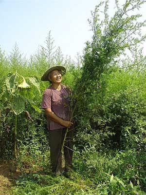 Ernte Wermut Artemisia annua - gegen Brust -Lungen-, Bauchspeicheldrüsenkrebs u.a. und Malaria Mittel zugleich