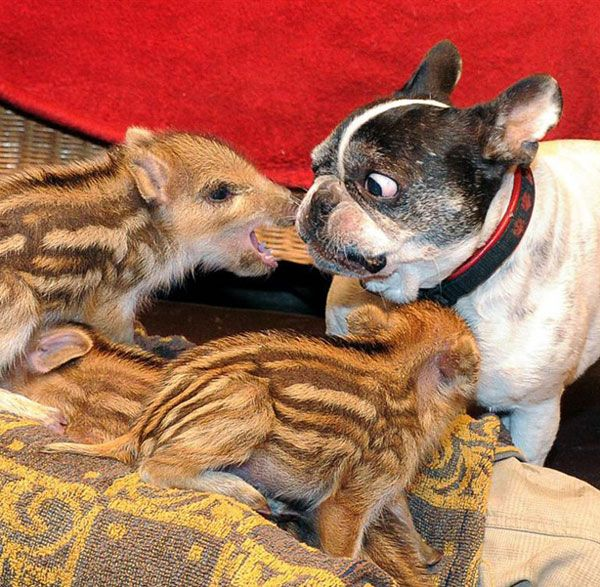 """""""Meet Baby, a super doggy mom from Germany who has become a maternal figure to abandoned baby animals. and has nursed them out of the dark. Just like how she's nursing my soul out of the dark with that suspicious """"Are you going to eat my face off or give me a no-teeth love bite?"""" side-eye.     When six little wild boar piglets were brought in after they were found in the wild, Baby immediately became the sheep mom to their Lambert."""" From DListed"""