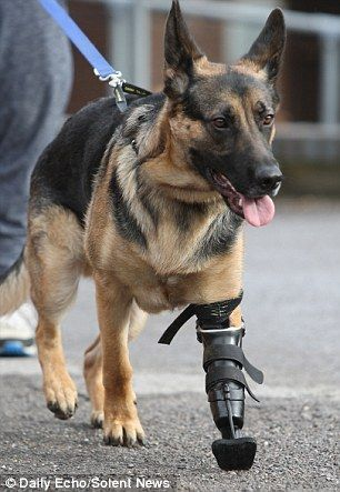 Three-legged rescue dog: Shadow, of Southampton, has been given a revolutionary new prosthetic paw. Fantastic!