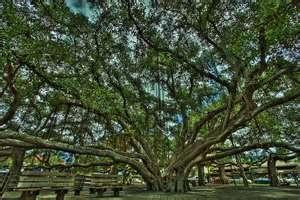 Banyon Tree in Lahaina Maui - This tree is amazing.