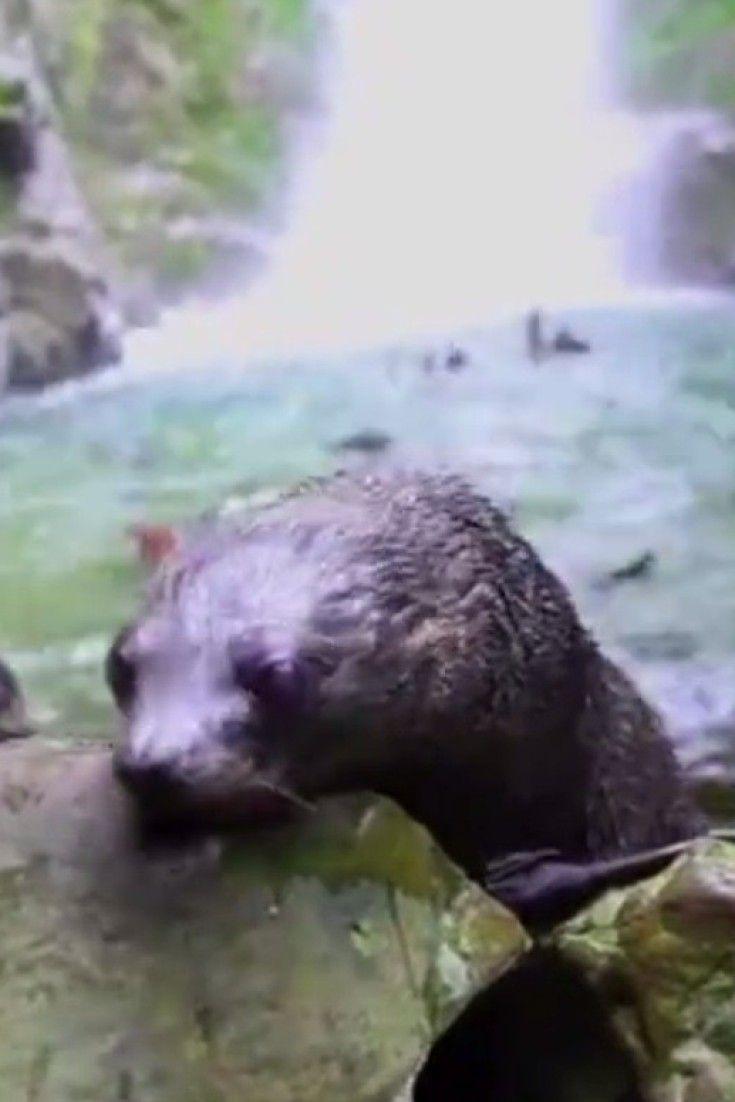 Este baño que se dan cientos de focas bebés en una cascada te dará ganas de ponerte a remojo (VÍDEO)
