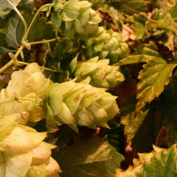 Hops are ripe and abundant by early March in Northern Tasmania.