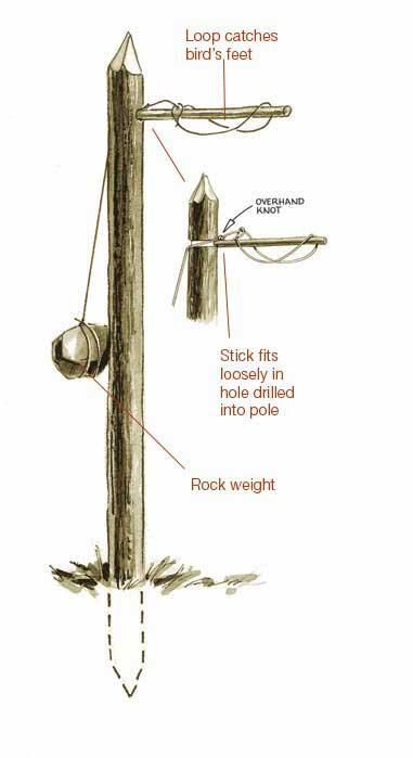 """<span class=""""readhead"""">Bird Traps </span><br />  Birds can be much easier to trap than mammals and should be among your first targets for a meal.   <hr />  <span class=""""readhead"""">Ojibwa Bird Pole</span><br />  Set this trap in a large clearing where birds"""