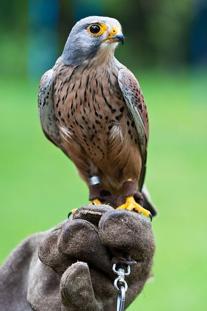 36 best images about Working with Raptors (Birds of Prey ...