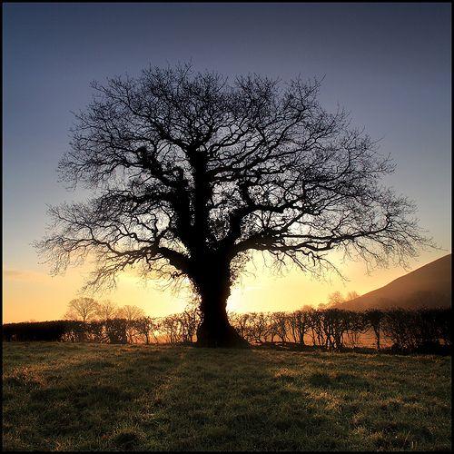 Oak Tree - Glastonbury, via Flickr.